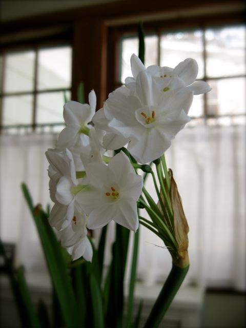 Paperwhites blooming