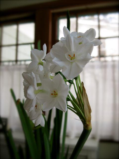Paperwhites blooming